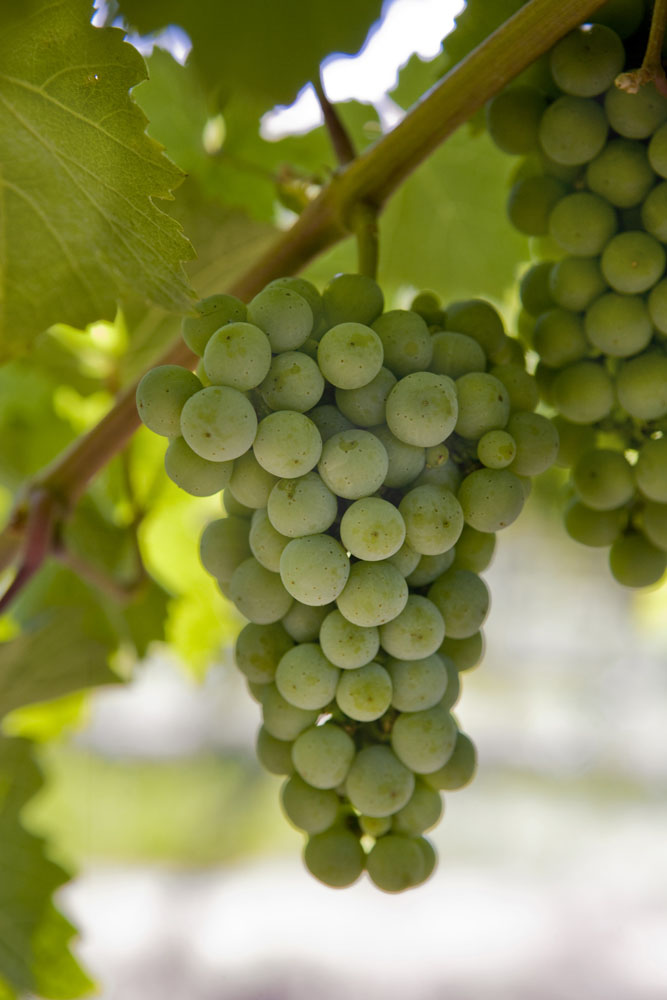 Washington is among the top Riesling producers in the world.