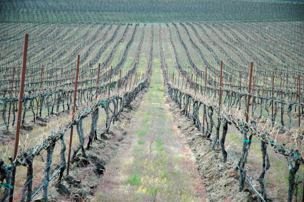 Vineyard damage in the Horse Heaven Hills in Washington wine country.