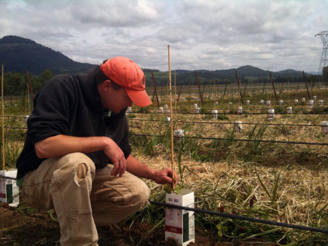 Greg Fries, winemaker for his family's Duck Pond Cellars, checks on young plantings at Coles Valley Vineyard near Sutherlin, Ore., in 2012. (Photo courtesy of Duck Pond Cellars).