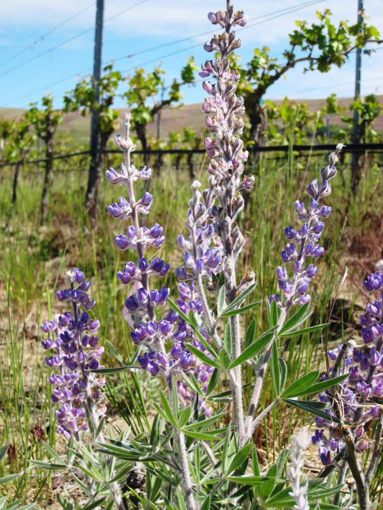 A vineyard on Red Mountain near Benton City, Wash., features lupine as part of the native plant community used to attract beneficial insects. (Courtesy of Lorraine Seymour/Washington State University)