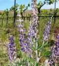 RedMtLupine1 120x134 - Seminar on use of native plants, insects in Washington vineyards