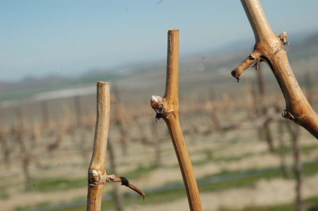 Washington wine country wine grape buds