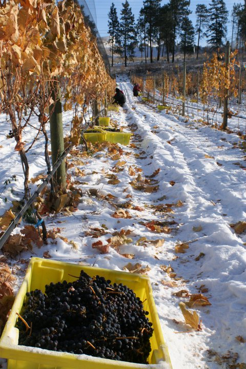 British Columbia ice wine harvest