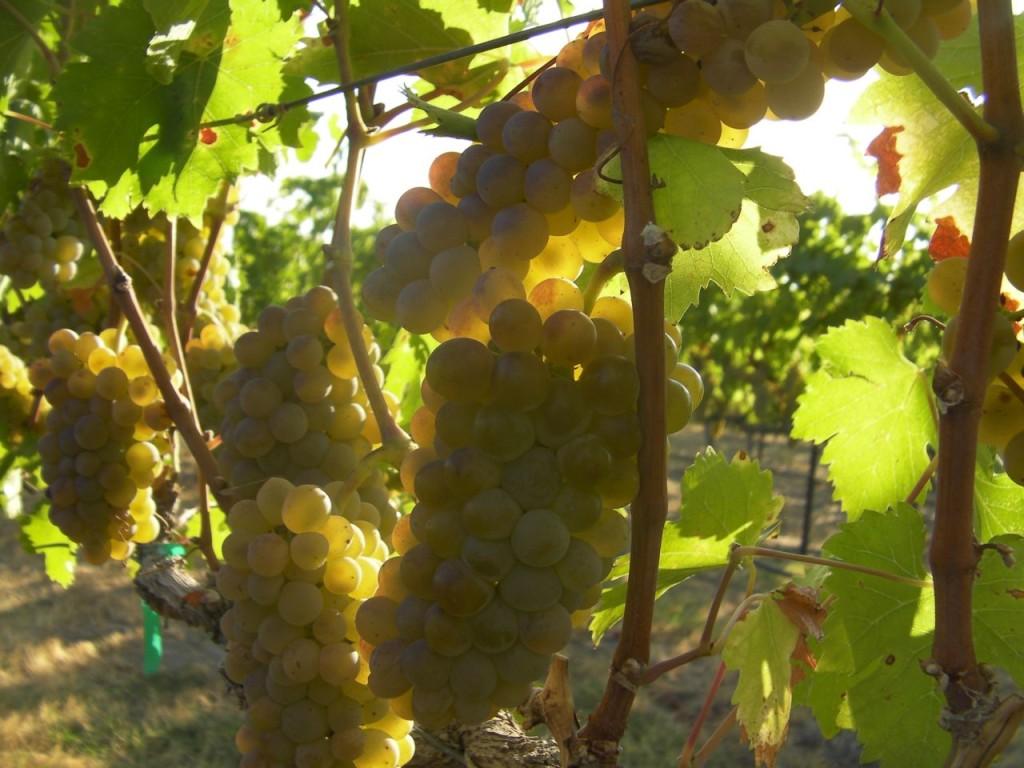 Ripe chardonnay grapes in Washington's Yakima Valley.