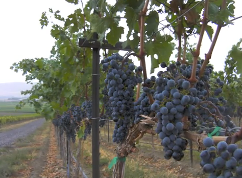 Vinagium grapes