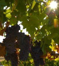 idaho.feature.file  200x224 - Precept reports no sign of winter damage in Idaho vineyards