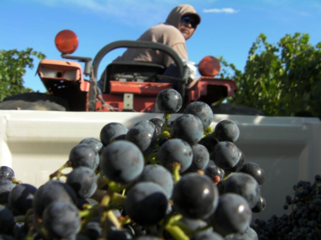 Washington wine grape harvest