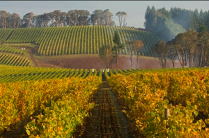 Hyland Vineyard, first planted in 1971, is in the McMinnville AVA. (Photo courtesy of Hyland Estates)