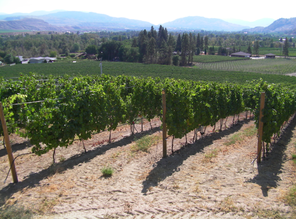 Secrest Vineyard is the youngest and largest of three estate plantings for Wild Goose Vineyards in Okanagan Falls, British Columbia. (Photo by Eric Degerman/Great Northwest Wine)