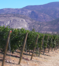 Secrest featured 120x134 - Wild Goose Vineyards gushes over young British Columbia vineyard