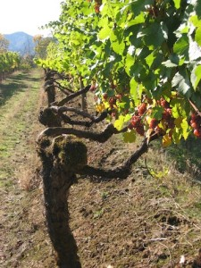 David Hill Vineyards & Winery in Forest Grove, Ore., sources from estate old vines of Gewurztraminer in Washington County.
