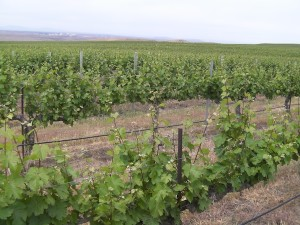 Riesling from Dionysus Vineyard thrives on May 15, 2013 east of the Columbia River north of Pasco, Wash. (Eric Degerman/Great Northwest Wine)