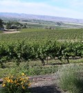 Bitner Vineyards feat 120x134 - Idaho's high-elevation Pinot Gris produces awards, fans