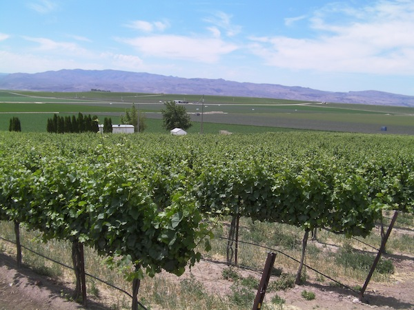 There are 3.8 acres of Pinot Gris at Sawtooth Vineyard in Nampa, Idaho, which accounts for the second-largest production of Pinot Gris in the state. (Eric Degerman/Great Northwest Wine)