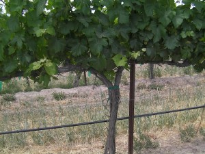 Clone 1 Pinot Gris plantings at Sawtooth Vineyard in Nampa, Idaho, date to 1998. (Eric Degerman/Great Northwest Wine)