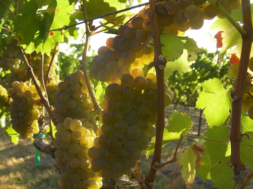 Wine grapes ripen at Kestrel View Vineyard in the Yakima Valley.