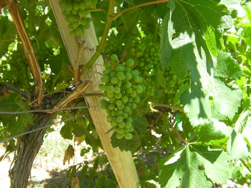 These wine grapes have not yet gone through veraison.