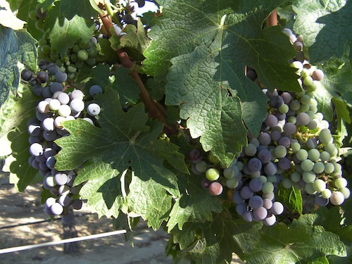 Veraison is when wine grapes begin to change color, signaling the countdown to harvest.