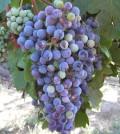 veraison vertical 120x134 - As veraison begins, Washington wine grapes start to show true colors