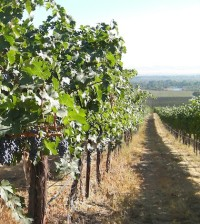 Yakima Valley wine grapes.