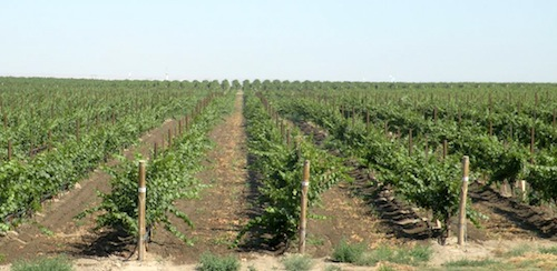 Champoux Vineyards' Circle Block was replanted in 2012.