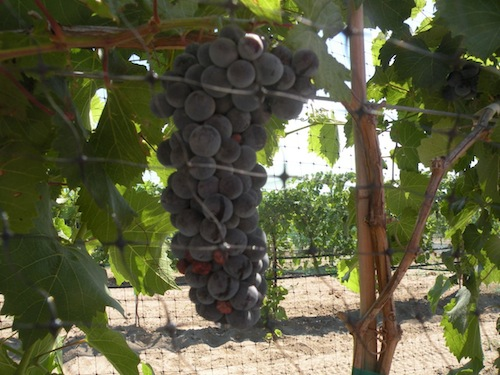 washington wine grape harvest will begin early in 2013.