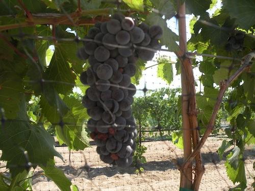 washington wine grape harvest will begin early in 2013.