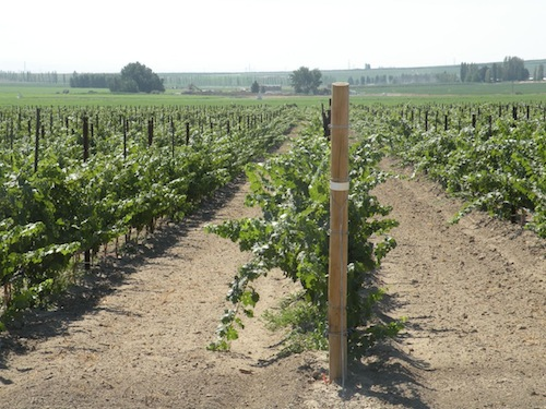 Replanted Cabernet Sauvignon at Champoux Vineyards in the Horse Heaven Hills of Washington state.