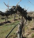 ciel du cheval old vines featured 120x134 - Washington's great vineyards: Ciel du Cheval Vineyard