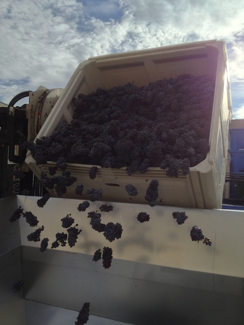 Pinot Gris grapes from Red Mountain arrive at Convergence Zone Cellars.
