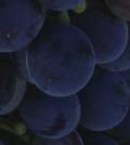 dark grapes copy 120x134 - As harvest looms, we put spotlight on great Washington vineyards