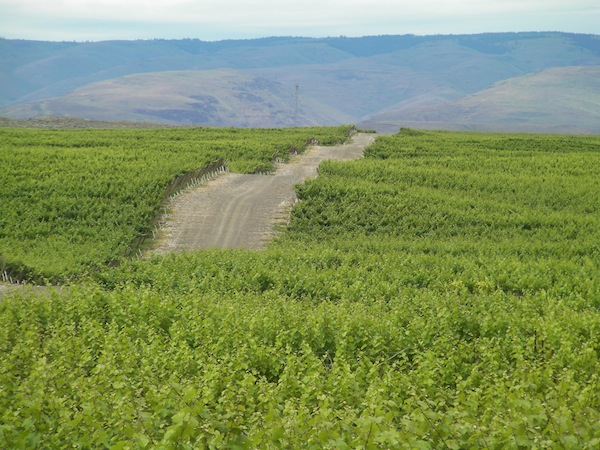 Expansion at Evergreen Vineyard near George, Wash., extends north toward the Columbia River.