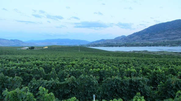 Bear Cub Vineyard made history in British Columbia as this estate site for Jackson-Triggs Okanagan Estate yielded Sauvignon Blanc on Aug. 27, 2013, the earliest harvest of vinifera in the Okanagan Valley.