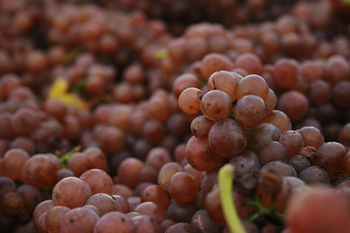 Pinot Gris is, in fact, not a white grape, as it turns pink when it's ready to be harvested. (Photo via Flickr/click for credit)