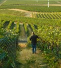 pepper bridge vineyard feature 120x134 - Washington's great vineyards: Pepper Bridge Vineyard