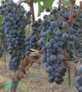 Red wine grapes await harvest on Washington state's Red Mountain.