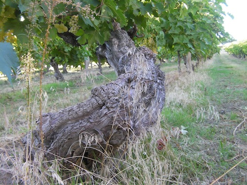 This Thompson Seedless vine was planted in 1917 at Upland Vineyard by William B. Bridgman.