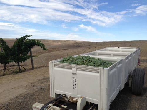 Sauvignon Blanc wine grapes are harvested in Washington state's Walla Walla Valley.