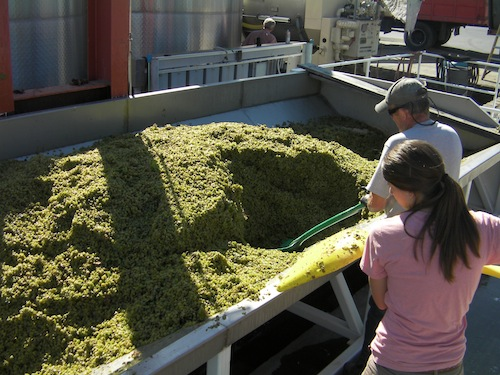 Washington wine harvest begins at Barnard Griffin winery in Richland with Sauvignon Blanc.