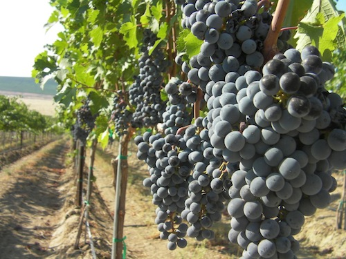 Cabernet Sauvignon grapes on Red Mountain in Washington state.