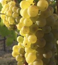 chardonnay grapes copy 120x134 - Yakima Valley remains the cradle of Washington wine