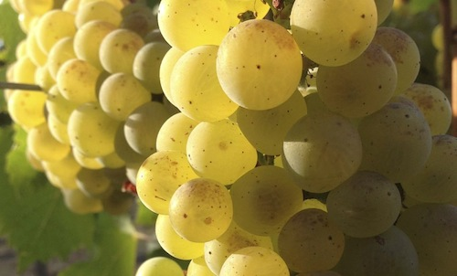 Chardonnay grapes ripen in the Columbia Valley of Washington state.