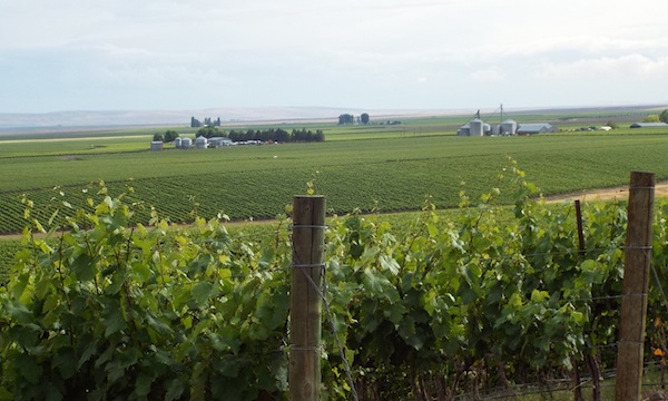 Coyote Canyon Vineyard is a 1,200-acre planting in Washington's Horse Heaven Hills.