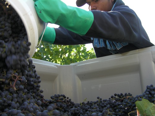 Washington wine harvest runs for about 60 days each year.