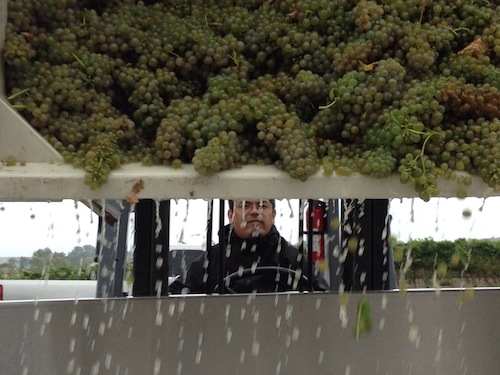 Idaho winemaker Martin Fujishin loads a bin of Viognier from Williamson Vineyards on Tuesday in Caldwell, Idaho.
