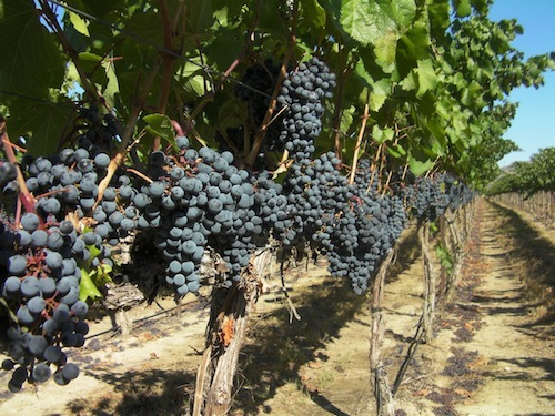 Malbec ripens at Northridge, a vineyard owned by Milbrandt on the Wahluke Slope of Washington state.
