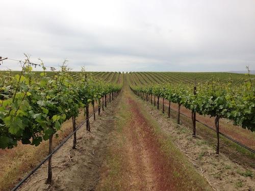 Sagemoor Vineyard