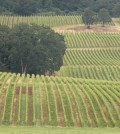 stoller vineyards feature 120x134 - After rain, winemakers, grape growers must wait