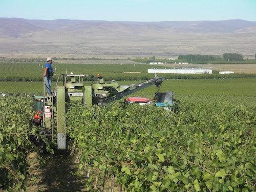 Wine grapes are harvested Thursday, Sept. 19, 2013, at the Wahluke Slope of Washington state.