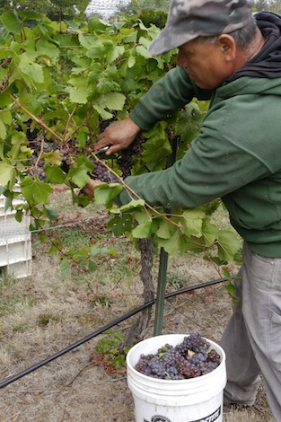 Cathedral Ridge Winery in Hood River, Ore., which harvests grapes from more than a dozen vineyards in the Columbia Gorge, offers its Complete Harvest Experience promotion for visitors on weekends throughout the month of October. (Photo courtesy of Cathedral Ridge Winery)